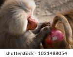 two hamadryas baboon  papio... | Shutterstock . vector #1031488054