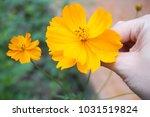 yellow flowers in outdoor... | Shutterstock . vector #1031519824