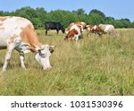 cows  on a summer pasture   Shutterstock . vector #1031530396