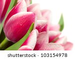 Pink tulips with water drops on white background / copy space for text - stock photo
