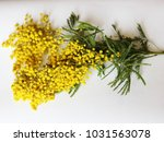 yellow mimosa on a white... | Shutterstock . vector #1031563078