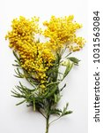 yellow mimosa on a white... | Shutterstock . vector #1031563084