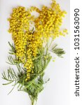 yellow mimosa on a white... | Shutterstock . vector #1031563090