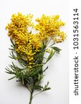 yellow mimosa on a white... | Shutterstock . vector #1031563114