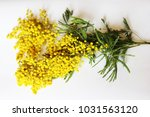 yellow mimosa on a white... | Shutterstock . vector #1031563120