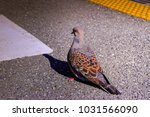 isolated bright color pigeon on ... | Shutterstock . vector #1031566090
