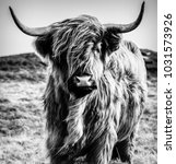 Black and White Cattle - stock photo