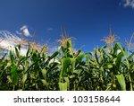 Corn field rice background cloudy cloud blue sky landscape - stock photo