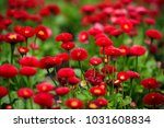 red flowers in garden | Shutterstock . vector #1031608834