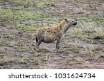 pregnant spotted hyena in the... | Shutterstock . vector #1031624734