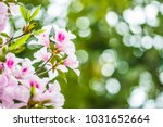 Close Up The Pink Azaleas In...