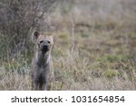 portrait of a spotted hyena. | Shutterstock . vector #1031654854