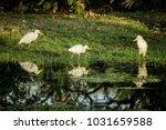 three white egrets wading in...   Shutterstock . vector #1031659588