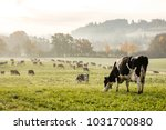 Red and black holstein cows are ...