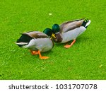 two male mallards wrestling... | Shutterstock . vector #1031707078