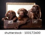 Small photo of three cute chocolate puppies of Labrador Retriever amicably sitting in brown vintage leather suitcase on black background