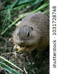 Small photo of Pouched marmot/european souslik, suslik is eating peace of corn, close up cute view, cute beautiful animal, Slovakia
