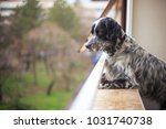 gorgeous dog  an english setter ... | Shutterstock . vector #1031740738
