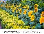 Close Up Of Sunflower Garden