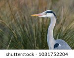portrait of a grey heron  ardea ... | Shutterstock . vector #1031752204
