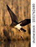 juvenile black stork ciconia...   Shutterstock . vector #1031762680
