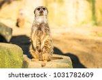 alert meerkat   suricata...   Shutterstock . vector #1031782609
