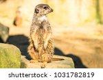 alert meerkat   suricata...   Shutterstock . vector #1031782819