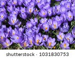crocuses flowers field.... | Shutterstock . vector #1031830753