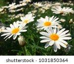 white daisy flower meaning love ... | Shutterstock . vector #1031850364