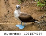 portrait of a blue footed booby ... | Shutterstock . vector #1031874394