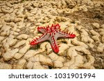 african red knobbed starfish ... | Shutterstock . vector #1031901994