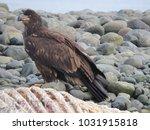 juvenile bald eagle on beach ...   Shutterstock . vector #1031915818