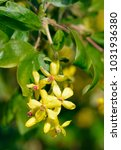 Small photo of Golden Currant Flowers - Ribes aureum Syn. Ribes odoratum