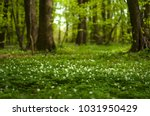 anemone nemorosa flower in the... | Shutterstock . vector #1031950429