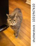 Small photo of Old grey cat with white whiskers standing in kitchen