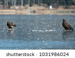 two immature bald eagles stand... | Shutterstock . vector #1031986024