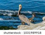 brown pelican   an adult brown...   Shutterstock . vector #1031989918