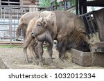 little bison with parents. zoo. ... | Shutterstock . vector #1032012334