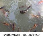 Here Is A Mallard Duck Swimmin...