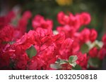 Blooming Bougainvillea Flowers...