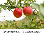 fresh apple tree in farm | Shutterstock . vector #1032053200