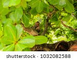 monkey eating leaves while... | Shutterstock . vector #1032082588