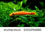 Small photo of Gyrinocheilus aymonieri is a freshwater fish.It is a food source and the aquarium trade. Its common names include honey sucker, sucking loach,Chinese algae eater,and Siamese algae eater.