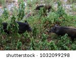 wild boar came downstream to... | Shutterstock . vector #1032099298