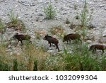 wild boar came downstream to... | Shutterstock . vector #1032099304