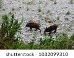wild boar came downstream to... | Shutterstock . vector #1032099310