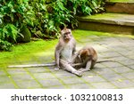 adult monkeys in monkey forest  ...   Shutterstock . vector #1032100813