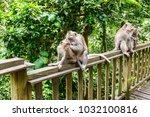 adult monkeys in monkey forest  ...   Shutterstock . vector #1032100816