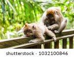 adult monkeys in monkey forest  ... | Shutterstock . vector #1032100846