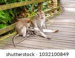 adult monkeys in monkey forest  ... | Shutterstock . vector #1032100849